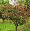 Mini drzewka owocowe idealne na balkon i taras