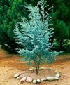 eucalyptus gunnii sadzonka cena