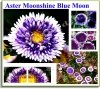 Aster Chiński Liliput Moonshine Blue Moon (Callistephus chinensis)