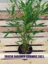 Czarny bambus mrozoodporny