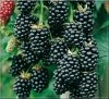 Rubus fruticosa