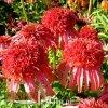 Echinacea uprawa