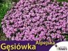 Gęsiówka alpejska różowa