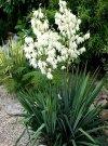 Jukka Mrozoodporna (Yucca L.)
