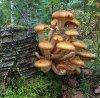 Opieńka miodowa grzybnia na kołkach 20szt kołków