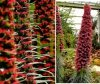 Żmijowiec Rubinowy (Echium wildpretii)