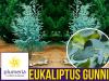 Eukaliptus Niebieski (Eukaliptus Gunni) Sadzonka