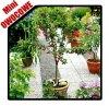DRZEWKO MINI OWOCOWE Mini Wiśnia 'Piemont' (Prunus) Sadzonka