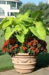 Niecierpki kwiaty balkonowe i rabatowe