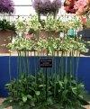 Czosnek bułgarski (Allium nectaroscordum) CEBULKI