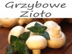 Nowość wśród ziół - Rungia klossii - Grzybowe zioło