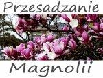 Przesadzanie magnolii.