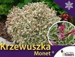 Krzewuszka cudowna miniaturowa 'Monet ®' (Weigela florida) Sadzonka