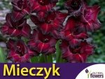 Mieczyk wielokwiatowy (Gladiolus) Black Star CEBULKA 5 szt.