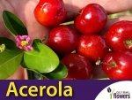 Acerola - Wiśnia z Barbados (Malpighia glabra L.)
