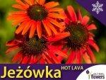 Jeżówka ' Hot Lava ' (Echinacea) Sadzonka