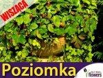 Poziomka wisząca Attila (Fragaria vesca) Sadzonka