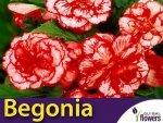 Begonia Marmorata (Begonia x tuberhybrida) CEBULKA