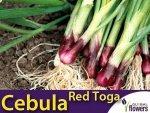 Cebula siedmiolatka czerwona 'Red Toga' (Allium fistulosum) 2g