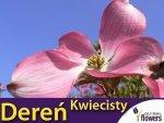 Dereń kwiecisty (Cornus florida rubra) Sadzonka