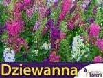 Dziewanna, mieszanka (Verbascun sp.) 0,1g Nasiona