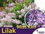 Lilak miniaturowy 'Miss Kim' (Syringa patula) Sadzonka