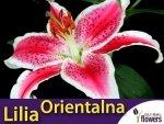 Lilia Orientalna (lilium) Star Gazer CEBULKA