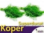Koper ogrodowy. Superducat (Anethum graveolens) XL 100 g