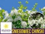 Śniegowiec wirginijski - Śnieżne drzewo (Chionanthus virginicus) Sadzonka C5