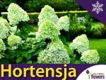 Hortensja Bukietowa 'Limelight' (Hydrangea paniculata) Sadzonka