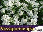 Niezapominajka alpejska biała (Myosotis alpestris) 0,30 g Nasiona