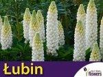 Łubin trwały Biały Noblemaiden (Lupinus polyphyllus) 2g, Nasiona