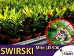 SWIRSKI MITE LD 500 drapieżny roztocz (do zwalczania wciornastków i mączlików)