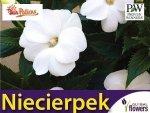 Niezwykły Niecierpek- Impatiens SunPatiens Vigorous White - sadzonka