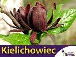 Kielichowiec wonny (Calycanthus floridus) Duża Sadzonka