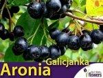 Aronia czarnoowocowa 'Galicjanka' (Aronia melanocarpa) Sadzonka