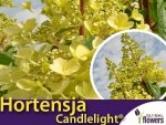 Hortensja bukietowa 'Candlelight ®' (Hydrangea paniculata) sadzonka