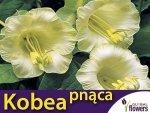 Kobea Pnąca biała (Cobaea Scandens) nasiona