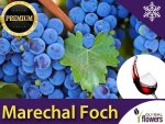 Winorośl przerobowa  'Marechal Foch' (Vitis) Sadzonka