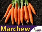 Marchew Nantes 3 - Nantejska Średnio Wczesna (Daucus carota) 4g + 1g gratis