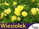 Wiesiołek żółty missouryjski (Oenothera missouriensis) 0,3g Nasiona