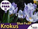 MAXI PAKA 60 szt Krokus 'Blue Pearl' (Crocus sieberi) CEBULKI