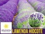 Lawenda HIDCOTE BLUE STRAIN (Lavandula angustifolia) Sadzonka