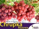 Winorośl Chrupka Różowa Sadzonka - odmiana deserowa Vitis 'Chrupka Różowa'