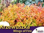 Krzewuszka 'Wings of Fire' (Weigela) Sadzonka
