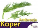 Koper ogrodowy Ambrozja (Anethum graveolens) XL 100 g