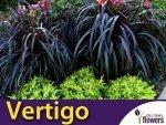 Rozplenica Słoniowa 'Vertigo' (Pennisetum purpureum) Trawa Sadzonka C3