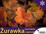 Żurawka 'Southern Comfort' NAJWIĘKSZA odmiana (Heuchera) Sadzonka
