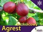 Agrest czerwony bezkolcowy 'Spine Free' (Ribes) Sadzonka