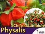 Miechunka rozdęta - Chiński Lampion (Physalis) Sadzonka